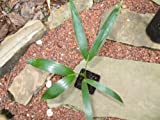 "4"" Pot Live Howea forsteriana ""Kentia Palm"" Tree Seedling. Great Indoor Palm"