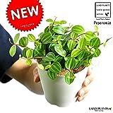 LAND PLANTS ペペロミア・アングラータ 白色プラスチック鉢セット 4号サイズ