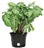 Costa Farms Nephthytis Arrowhead Vine Live Indoor Tabletop Plant in 6-Inch Grower Pot