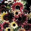Park Seed Razzmatazz Mix Sunflower Seeds