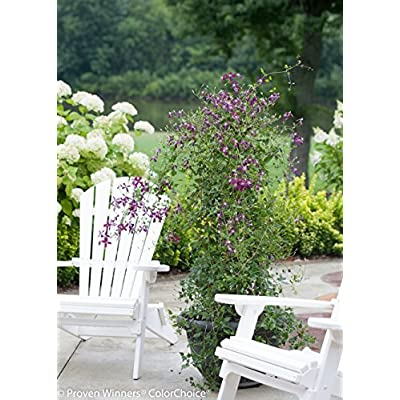 Sweet Summer Love (Clematis) Live Shrub, Red-Purple Flowers, 1 Gallon: Garden & Outdoor