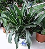 10 Seeds Rohdea Japonica Seeds Ornamental Plants Air purification Of Green Plants #32736853425ST