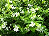 """CUPHEA - MEXICAN HEATHER - WHITE - 2 PLANTS - 3"""" POTS"""