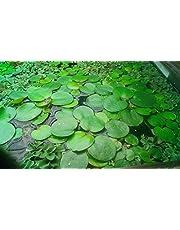 Conjunto de plantas flotantes - 50 piezas - para un estanque o acuario