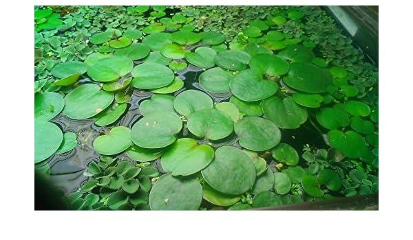 Conjunto de plantas flotantes - 25 piezas - para un estanque o acuario: Amazon.es: Productos para mascotas