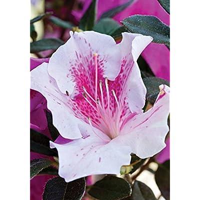 3 Gallon - Encore Azalea Autumn Twist - Multi-color Reblooming Evergreen Shrub : Garden & Outdoor
