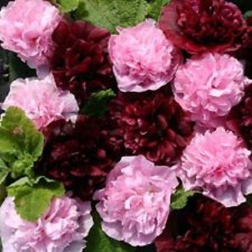 30+ Alcea Very Berry Double Hollyhock Flower Seeds / Perennial