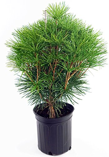 Japanese Umbrella Pine, green leafed evergreen in 2 Gallon pot - Sciadopitys Verticillata - Umbrella Pine Tree