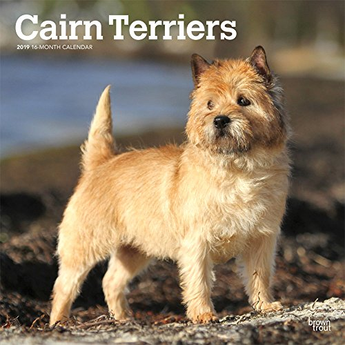 Cairn Terriers 2019 12 x 12 Inch Monthly Square Wall Calendar, Animals Dog Breeds Terriers