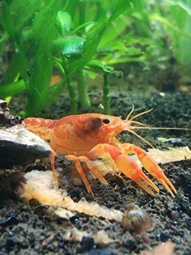 (Polar Bear's Pet Shop 1 Pair = 1 Male & 1 Female Orange Dwarf Mexican Crayfish CPO crawdad Shrimp Live)