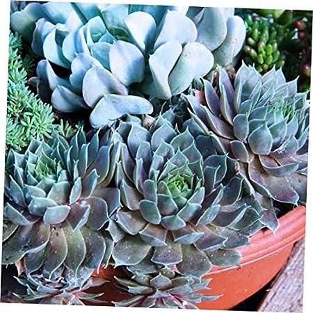 3 PlanTs Blue  Boy Sempervivum Hen And Chick  hardy  Succulent zone 3 To 9