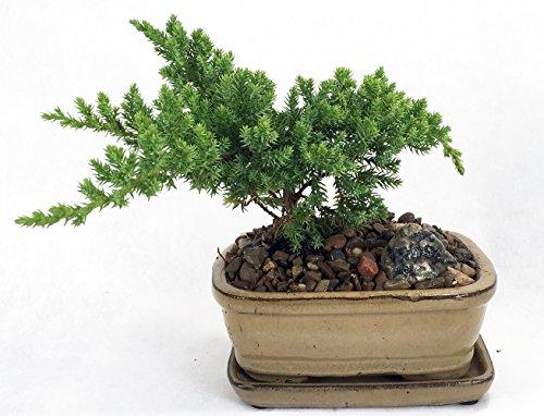 "Japanese Juniper Mini Bonsai Plant - 6"" x 4"" x 2"" Ceramic Pot and Saucer"