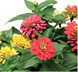 Aerogarden Zinnia Mix Seed Kit (9-pod)