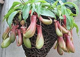 Hanging basket Pitcher plant .