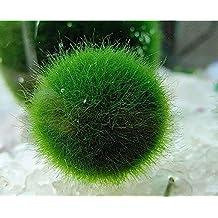 NewDreamWorld's Japanese Marimo Moss Balls, Aquatic Living Plants for Aquarium Terrarium Accessories, DIY Jewelry Findings (6 mm)