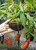 Tropical Pitcher Plant - Nepenthes Diana - Carnivorous Plant