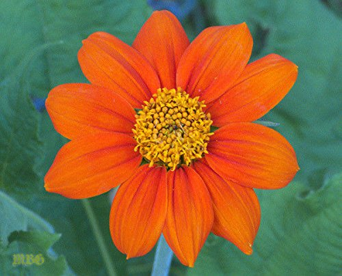 (Mexican Sunflower Seeds,Orange/Gold,Torch,Favorite for Monarchs Butterfly(25))