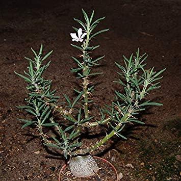 10 Seeds GEOPONICS Pachypodium succulentum