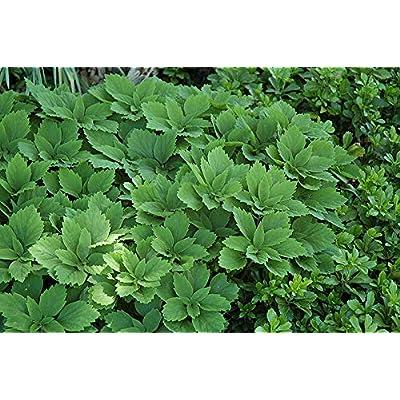 20 Pachysandra Allegheny Spurge Rhizomes Shrub Plant for Garden #RR11 : Garden & Outdoor