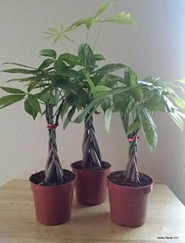 M&M BONSAI BRAIDED MONEY TREE IN TRAINING POT by M&M BONSAI by M&M BONSAI