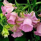 Campanula medium Raspberry ringing Flowers Seeds
