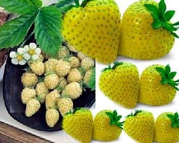 Yellow Wonder Alpine Strawberry 10 Seeds