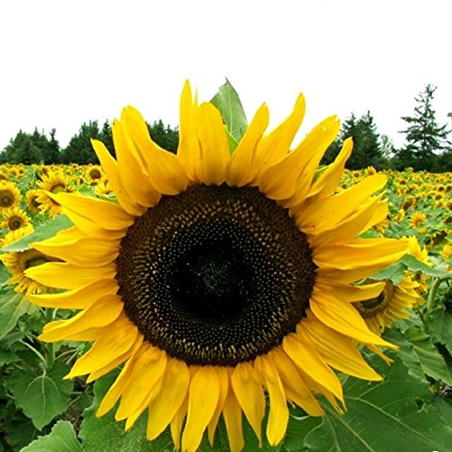 Grey Stripe Mammoth Sunflower Seeds – Flowers for Garden Planting – 100 Seeds by Hill Creek Seeds