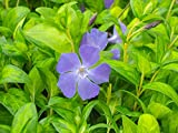 Vinca major 'Maculata' Big Leaf Periwinkle
