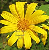 10 Seeds Giant Mexican Sunflower seeds annual Attracts Butterflies Tithonia diversifolia