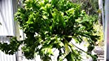Beautiful Bird's Nest Fern Asplenium scolopendrium Cristata Epiphyte Medium Size #MDAS