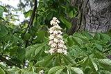 Ohio Buckeye (Aesculus glabra) 2-3 year old plant, horse chestnut tree