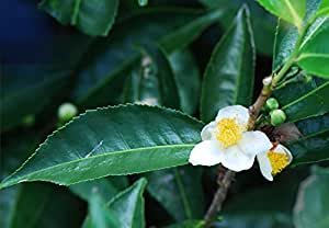 Asklepios-seeds | Camellia sinensis, Real Green/Black tea-tree, 300 seeds