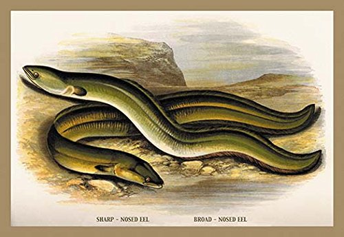 Buyenlarge Sharp-Nosed Eel and Broad-Nosed Eel Paper Poster, 18