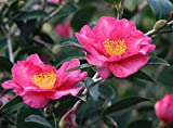Kanjiro Camellia (C. sasanqua) - Live 1yr Healthy Plant, min 19-in Tall