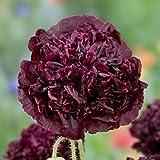 Poppy Seeds - Double Black - Packet, Deep Maroon/Purple Flowers