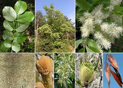 Flowering Ash. 200 seeds. trees, seeds