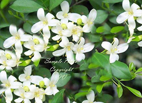 Murraya paniculate Orange Jasmine Seeds Great Potted Tropical Multi-use Plant 5 Seeds (Jasmine Orange Plant)