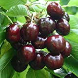 Fresh sweet Cherries Tart 2bls Fast shipping 3 days delivered