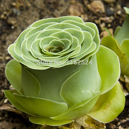 Free Shipping 50pcs 100% Genuine Fresh Rare Greenovia aurea ex Tenerife Seeds bonsai Succulent Plant Flower Seeds