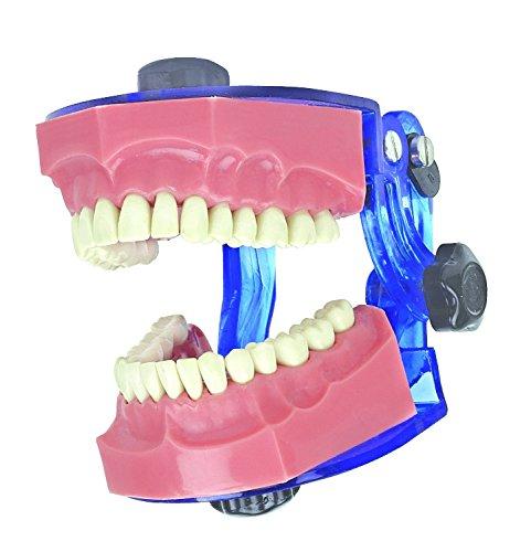Doc.Royal Typoddont Jaw Set Dental Study Model Adult