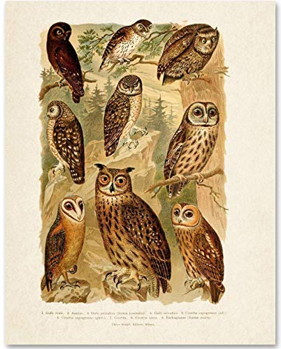 Owls Illustration - 11x14 Unframed Art Print - Makes a Great Gift Under $15 for Bird and Nature Lovers