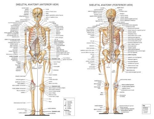 Amazon.de: Menschlichen Körper Anatomische Diagramm Muskulatur Stoff ...