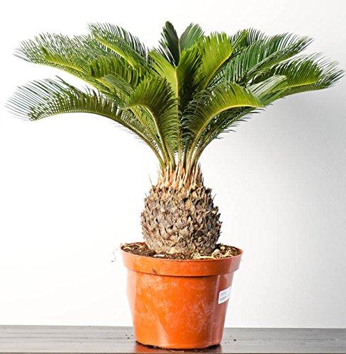 Sago Palm Plant, 6'' POT by Garden Goods Direct