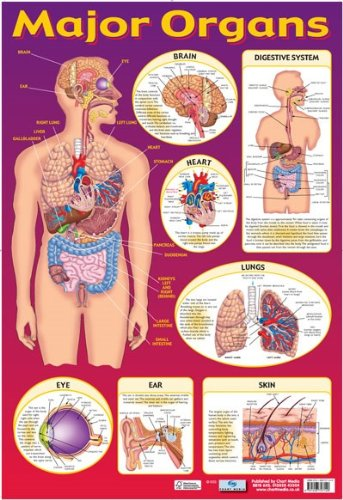 Grindstore Laminated Find Your Way Around The Human Body! Major Organs of The Body Mini Poster 40x60cm (Human Body Organs)