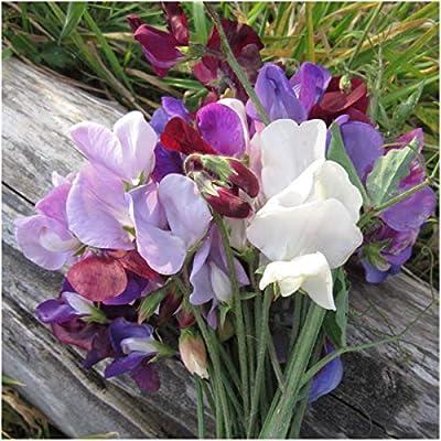 Seed Needs, Old Spice Sweet Pea (Lathyrus odoratus) Twin Pack of 200 Seeds Each : Flowering Plants : Garden & Outdoor