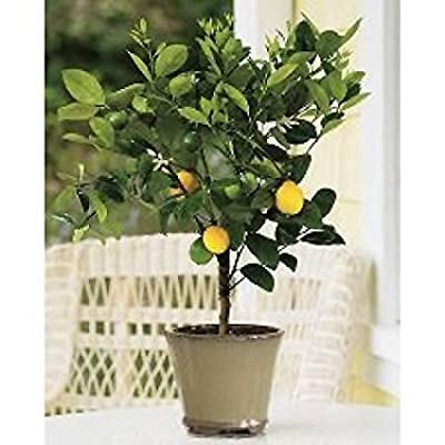 Dwarf Meyer Lemon Tree - Potted : Garden & Outdoor