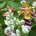 "Corkscrew Vine Plant (One Well Developed Vine in 5.5"" Pot) Fragrant - Ships from USA"