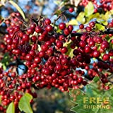 RED Chokeberry Brilliant Aronia Arbutifolia Brilliantissima - 15 Seeds