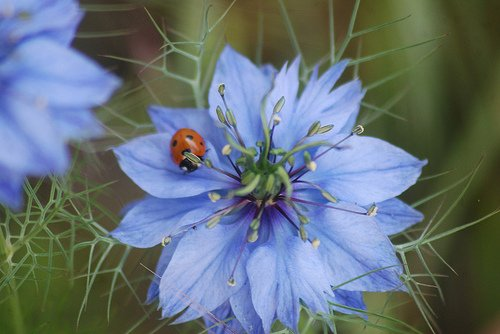 Non GMO Love in a Mist Flower Seeds Nigella damascena (1/4 Lb) 56,000 Seeds