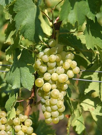 Vidal Blanc Wine Grape Vine - Plantable Year-Round - Hybrid Round Table